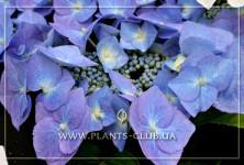 p-31099-hydrangea-macrophylla-'blau