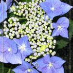 p-31099-hydrangea-macrophylla_'blau