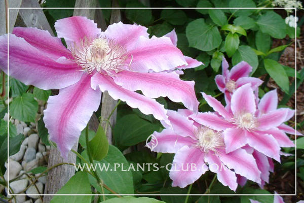 p-31659-clematis-'nelly-moser.jpg
