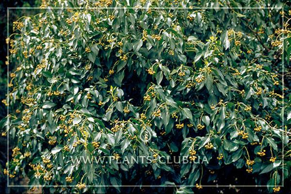 p-31672-hedera-helix-subsp-poetarum.jpg