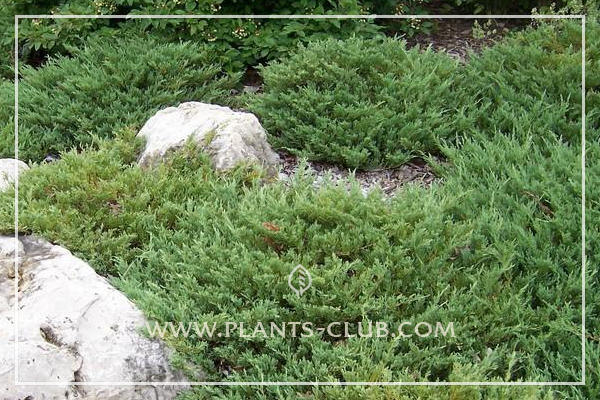 p-32149-juniperus-horizontalis-'andorra-compact'.jpg