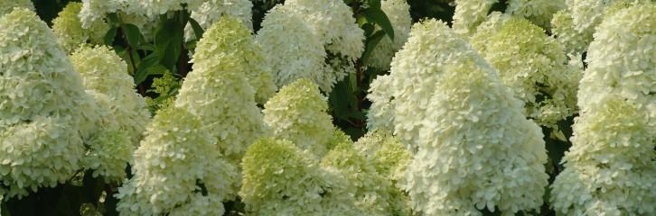 p-33930-hydrangea-paniculata-limelight