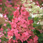 p-33941-hydrangea-macrophylla-pink-2
