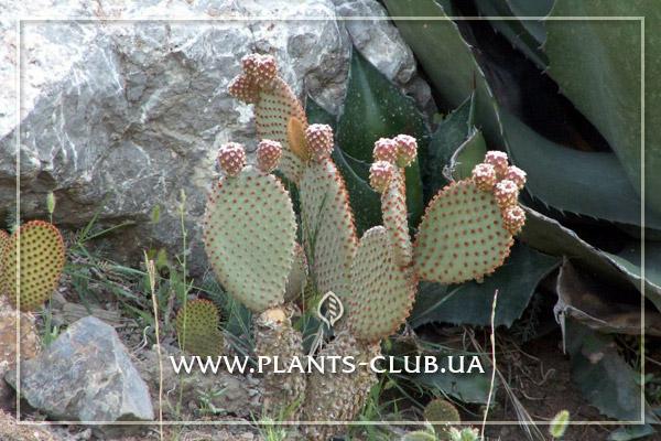 p-30418-opuntia-microdasys.jpg