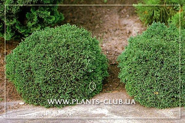 p-31851-chamaecyparis-lawsoniana-green-globe.jpg