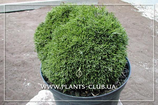 p-31851-chamaecyparis-lawsoniana-green-globe2.jpg