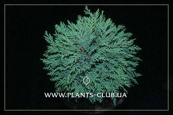 p-31876-chamaecyparis-mini-globus.jpg