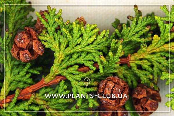 p-31929-chamaecypais-obtusa-filicoides2.jpg