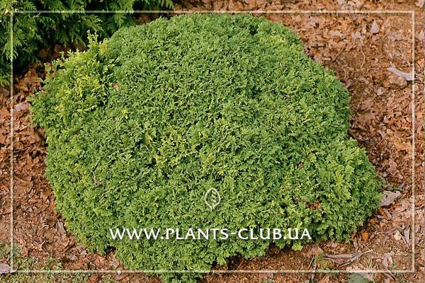 p-31956-chamaecyparis-pisifera-nana.jpg