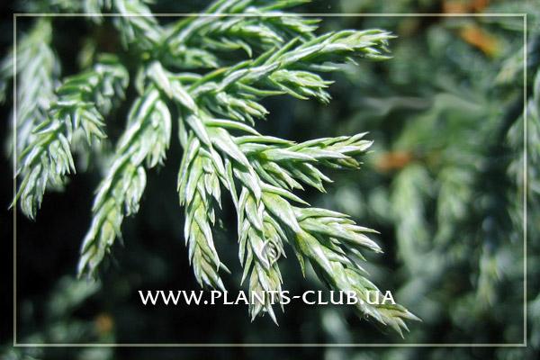 p-31961-chamaecyparis_pisifera_baby_blue2.jpg
