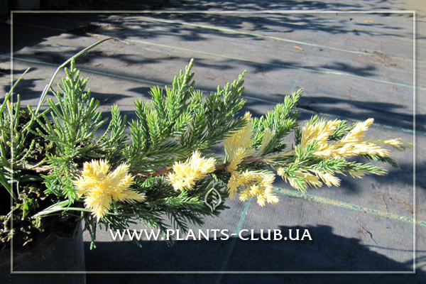 p-32033-juniperus-chinensis-expansa-aureovariegata_2.jpg