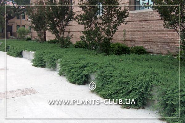 p-32120-juniperus_conferta_blue_pacific_2.jpg
