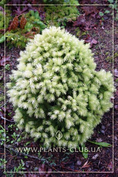 p-32666-picea-glauca-daisys-white-2.jpg