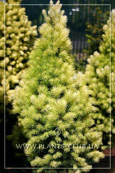 p-32666-picea-glauca-daisys-white-3.jpg