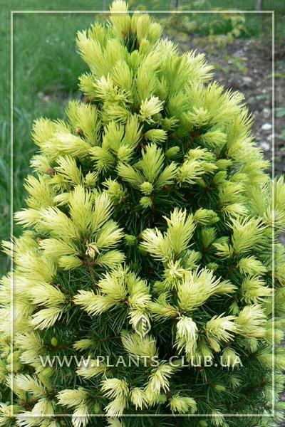 p-32666-picea-glauca-daisys-white-4.jpg