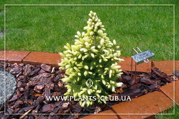 p-32666-picea-glauca-daisys-white.jpg