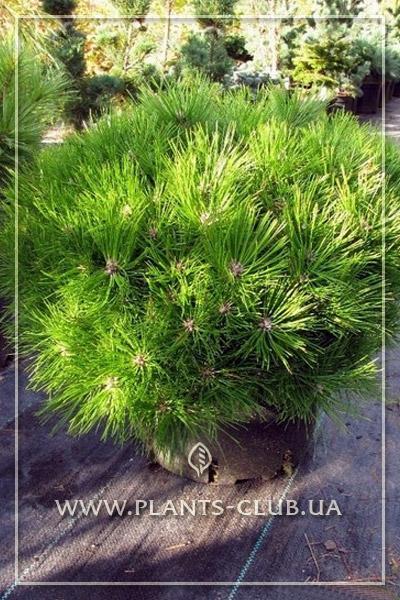 p-32921-pinus-densiflora-low-glow-2.jpg