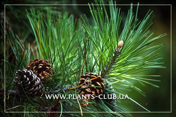p-32956-pinus_densiflora.jpg