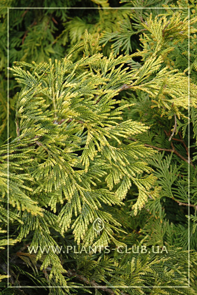 p-33853-thuja-plicata-zebrina-extra-gold2.jpg