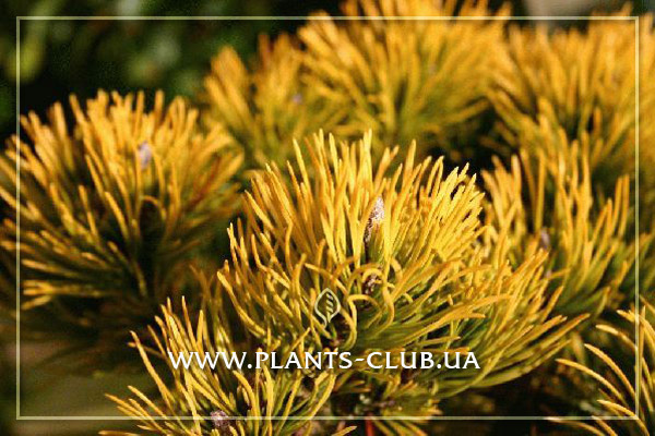 p-34068-pinus_mugo_carstens_wintergold-21.jpg
