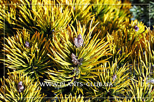 p-34068-pinus_mugo_carstens_wintergold3.jpg