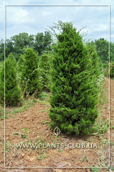 p-34291-juniperus-virginiana-canaertii_2.jpg