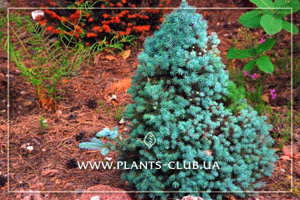 p-34307-picea-glauca-conica-blue_2.jpg