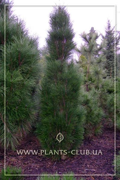 p-33229-pinus-nigra-greentower-2.jpg