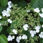 p-34554-hydrangea-anomala-petiolaris