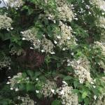p-34554-hydrangea_petiolaris01