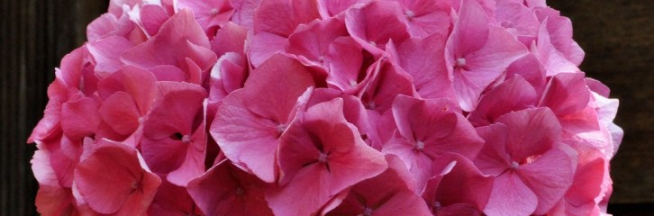 p-34561-hydrangea-macrophylla-'alpengluhen'