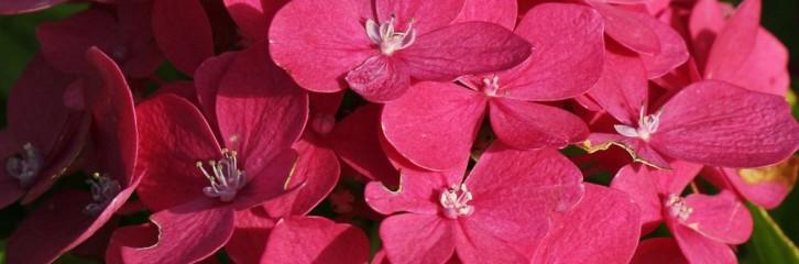 p-34566-hydrangea_macrophylla-_hornly