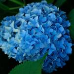 p-34577-hydrangea_macrophylla_nikkoblue_
