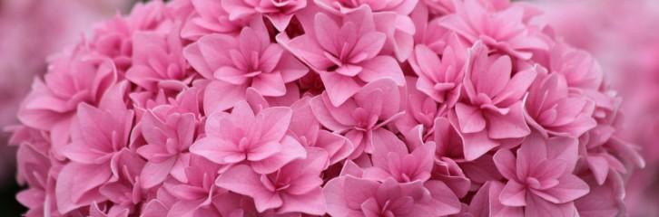 p-34581-macrophylla_romance_