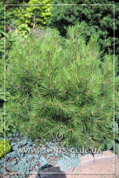 p-33263-pinus-nigra-karaca-ball-2.jpg