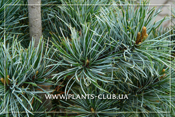 p-33324-pinus_parviflora_negishi-3.jpg