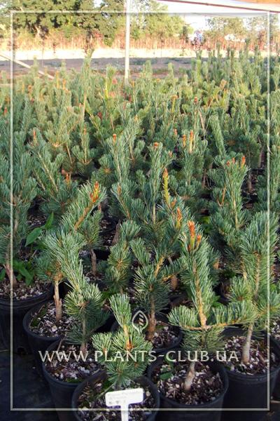 p-34130-pinus-parviflora-glauca-2.jpg