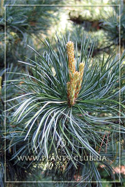p-34130-pinus-parviflora-glauca-4.jpg
