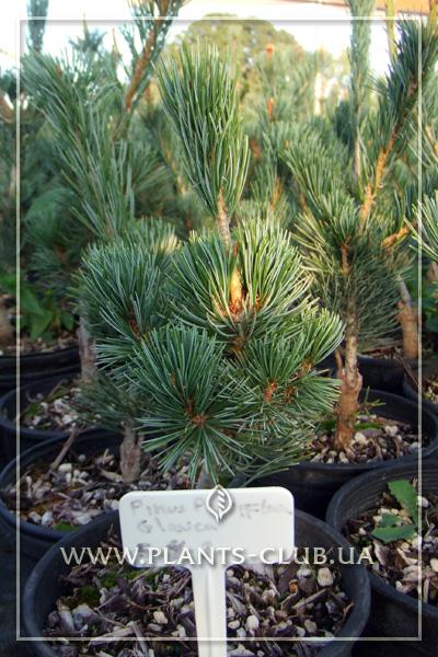 p-34130-pinus-parviflora-glauca.jpg