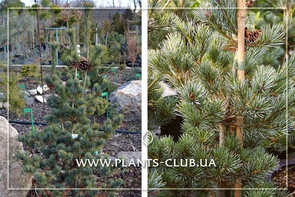 p-34239-pinus-parviflora-ryu-ju-2.jpg