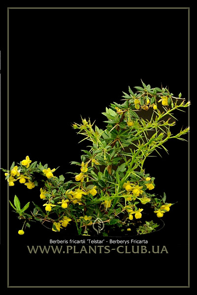 p-30583-berberis-frikartii-telstar.jpg