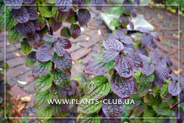 p-30875-cornus-sanguinea-compressa-3.jpg