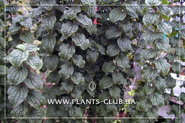 p-30875-cornus-sanguinea-compressa-4.jpg