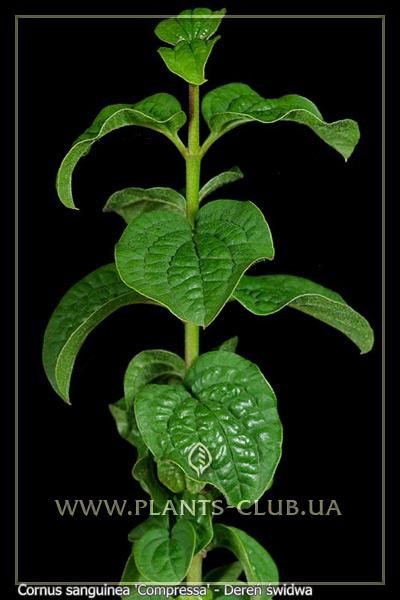 p-30875-cornus-sanguinea-compressa.jpg