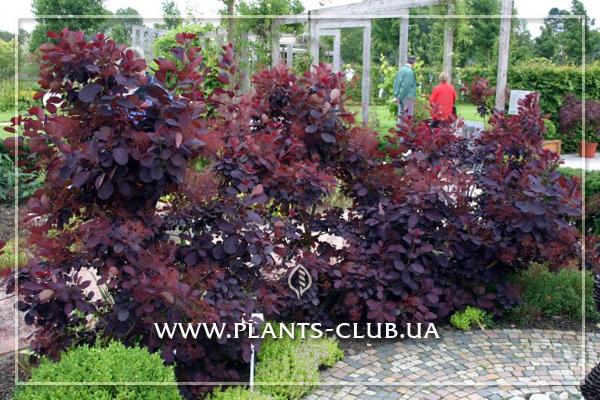 p-30888-cotinus-coggygria-royal-purple-2.jpg