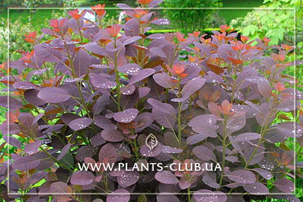 p-30888-cotinus-coggygria-royal-purple-3.jpg