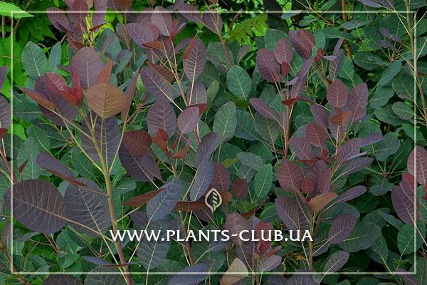 p-30888-cotinus-coggygria-royal-purple.jpg