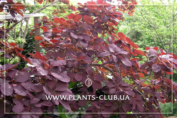 p-30888-cotinus-coggygria-royal-purple_1.jpg