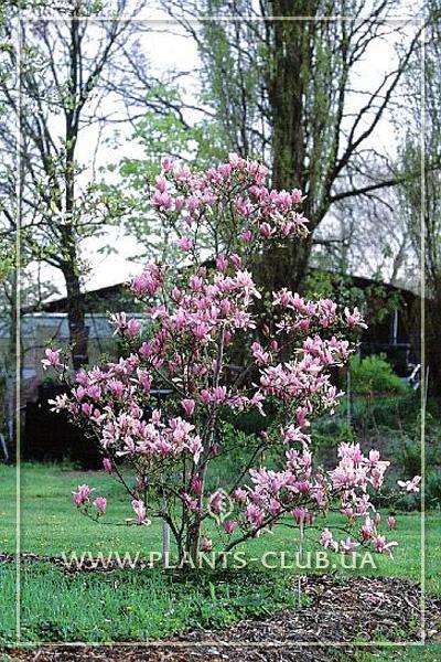 p-31165-magnolia_ricki.jpg