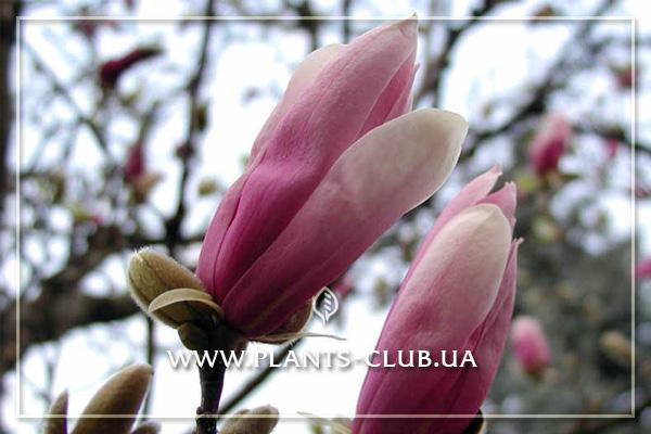 p-31165-magnolia_ricki_2.jpg